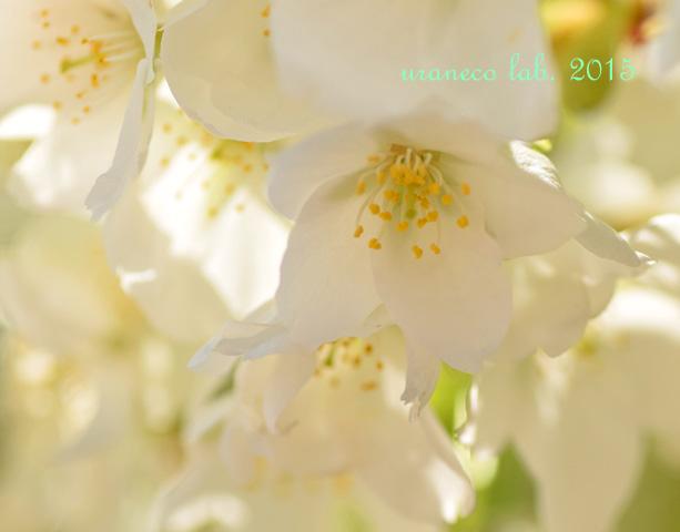 4月16日マクロ大島桜