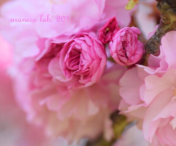 4月17日八重桜6