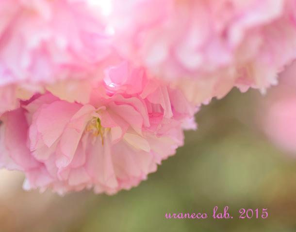 4月17日八重桜4