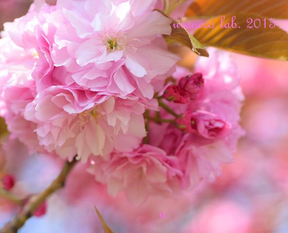 4月17日八重桜5