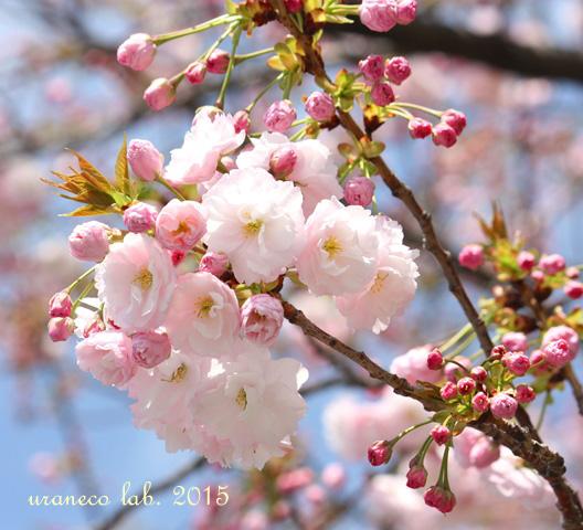 4月15日八重桜青空2