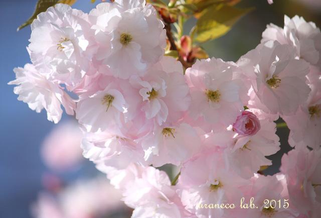 4月15日八重桜青空