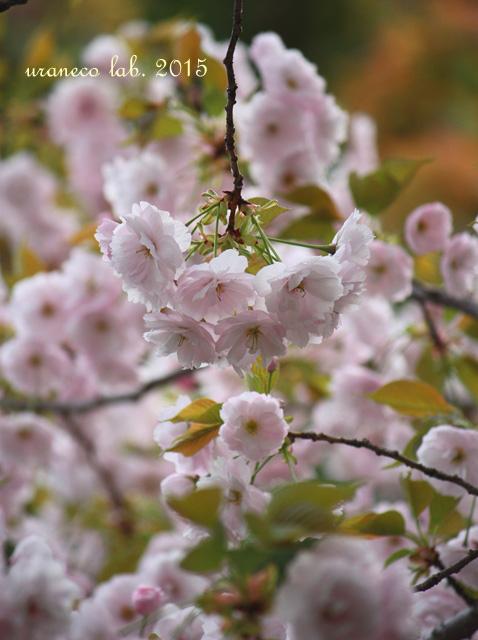 4月15日八重桜彩