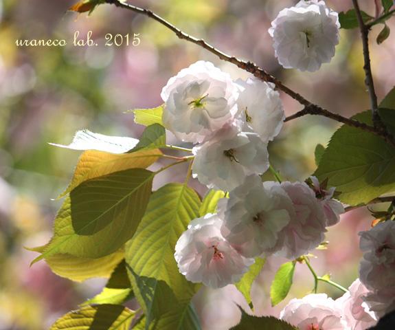 4月15日八重桜光の中