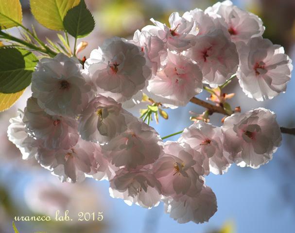 4月15日八重桜逆光