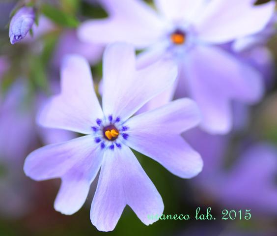 4月20日芝桜