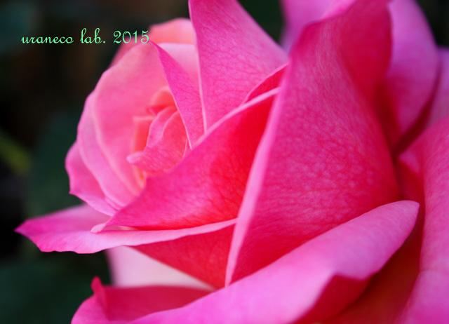 4月7日薔薇