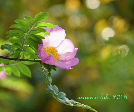 5月9日rose5