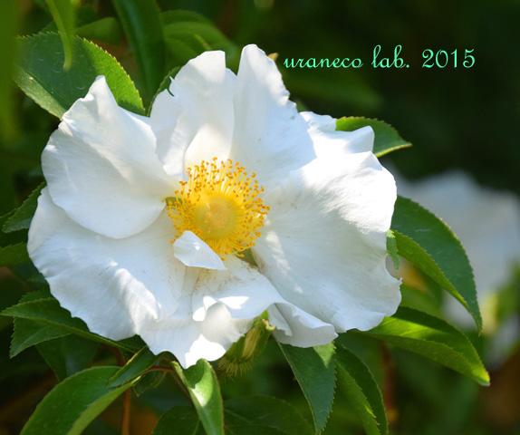 5月9日rose3