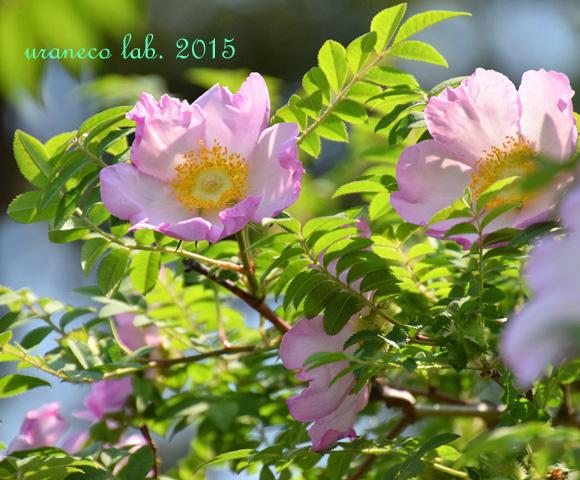 5月9日rose6