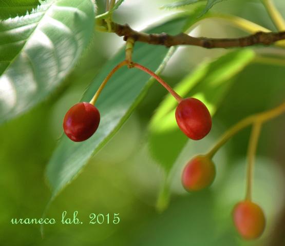 5月18日大島桜の実