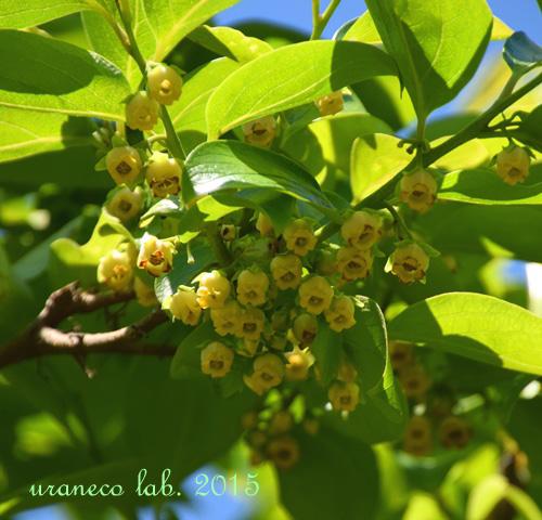 5月15日柿の花
