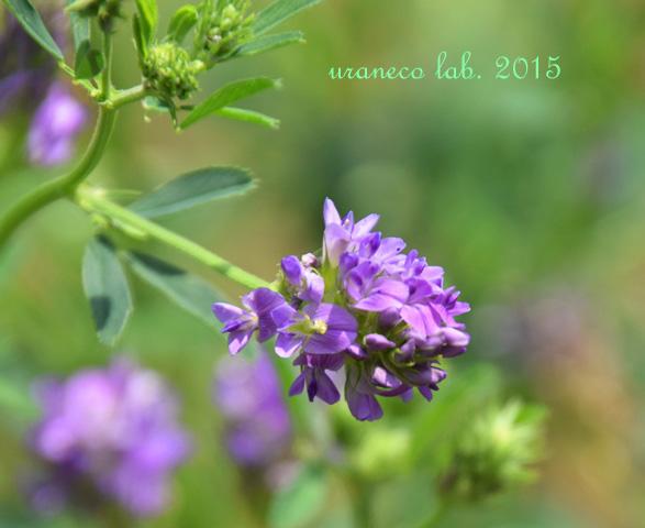 5月21日紫苜蓿
