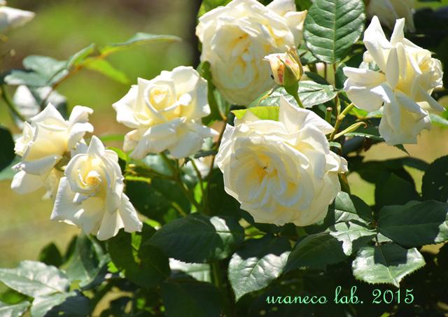 5月26日白薔薇