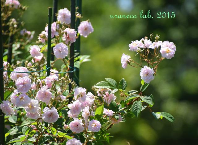 5月26日薔薇群生