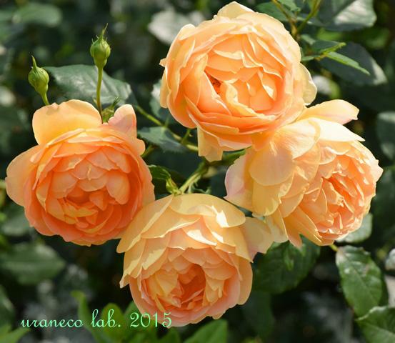 5月25日four roses