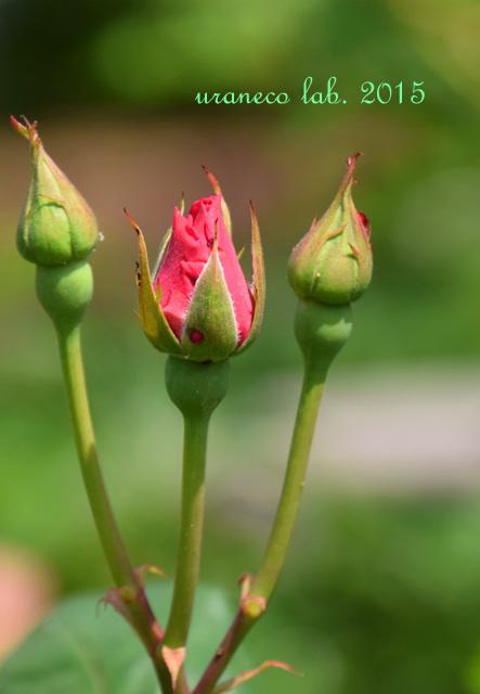 5月26日rose bud
