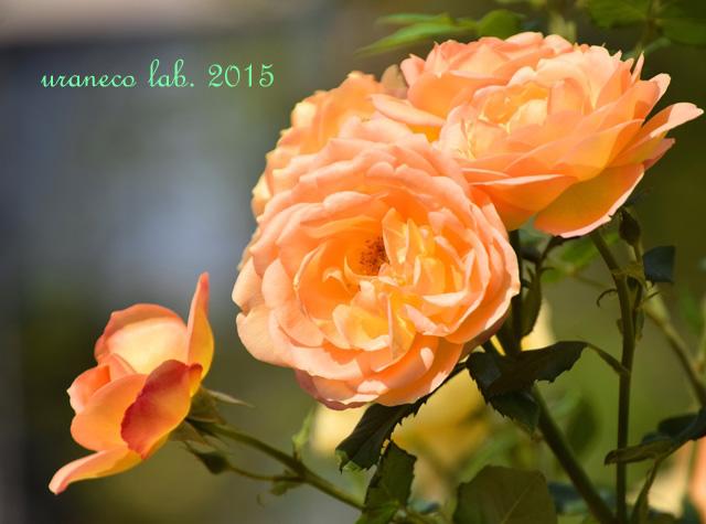 5月25日薔薇オレンジ
