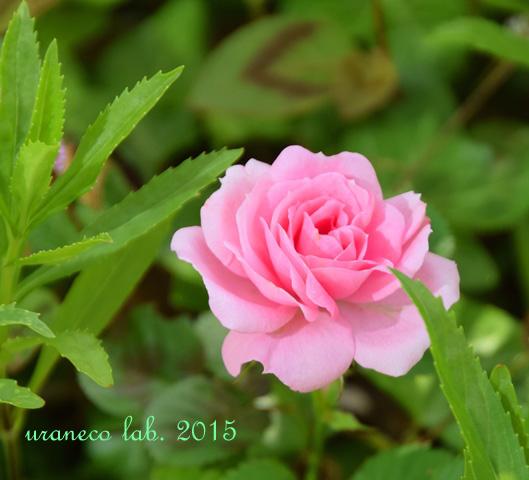 5月25日薔薇ピンク