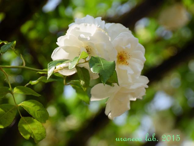 5月25日薔薇白