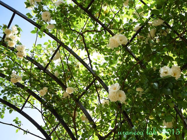 5月25日薔薇アーチ