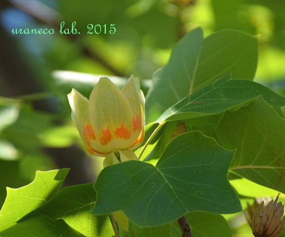 5月26日tulip tree6