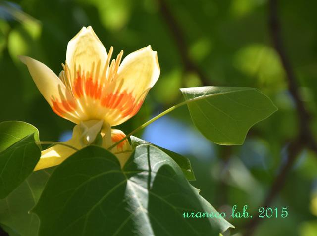 5月26日tulip tree4