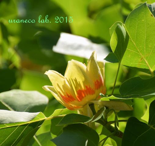 5月26日tulip tree5