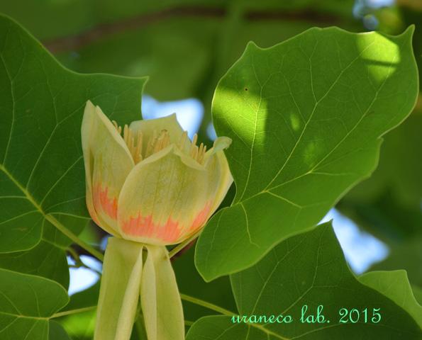 5月26日tulip tree3