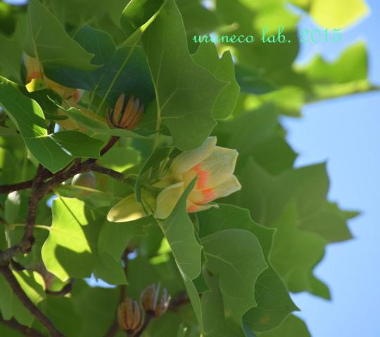 5月26日tulip tree2