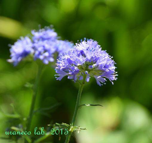 5月25日青紫の花2