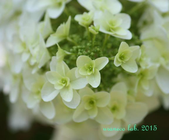 6月4日柏葉紫陽花