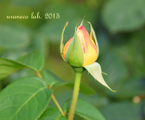 6月5日薔薇ピース2