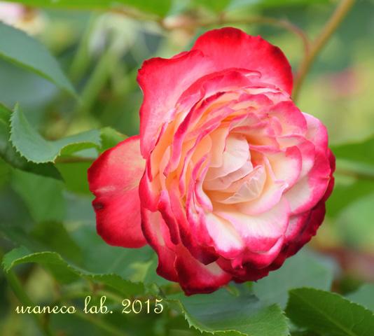 6月5日薔薇の横顔