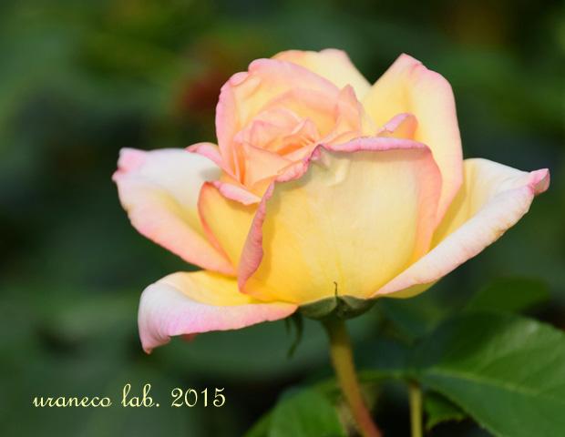 6月5日薔薇ピース