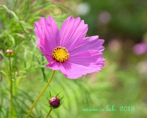 6月5日初夏のコスモス