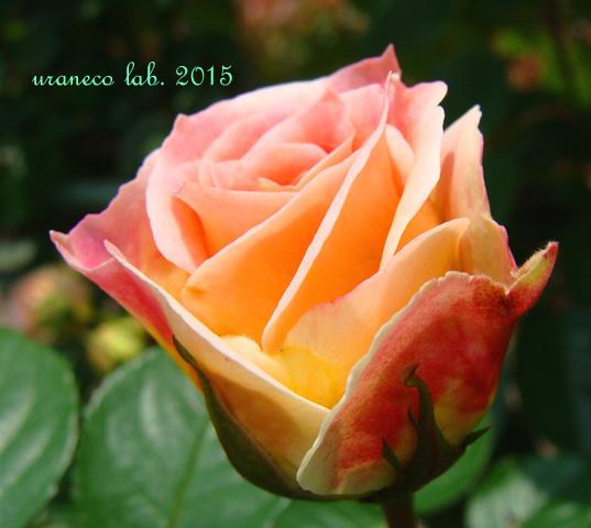 6月10日薔薇4