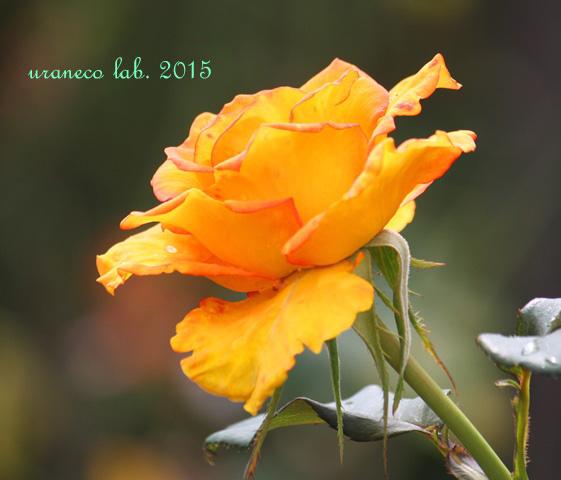 6月10日薔薇2