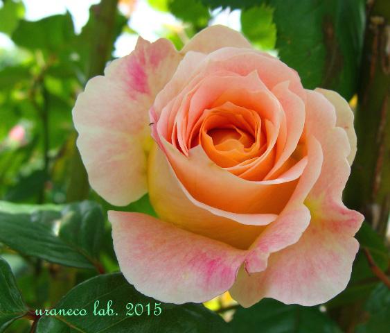 6月10日薔薇3