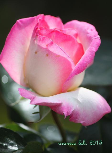 6月10日薔薇