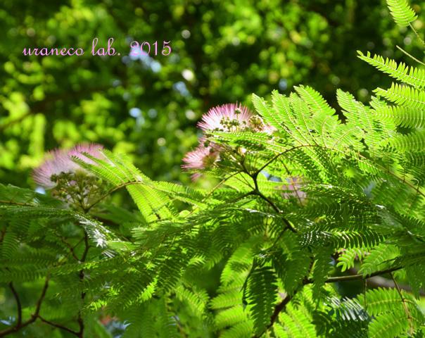 6月15日合歓の木4
