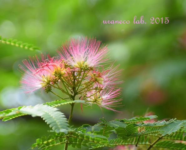 6月15日合歓の木