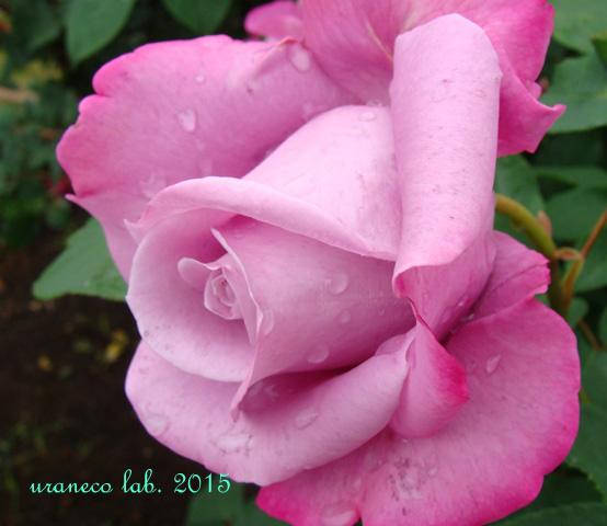 6月23日薔薇4