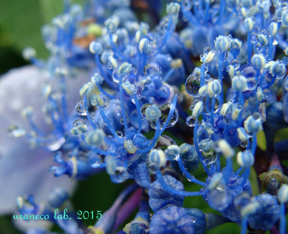 6月23日雨の日ガクアジサイ