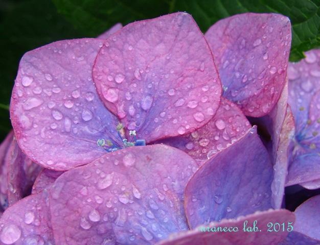 6月23日雨の日あじさい