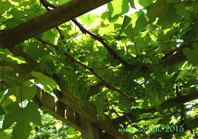 6月29日果樹園7