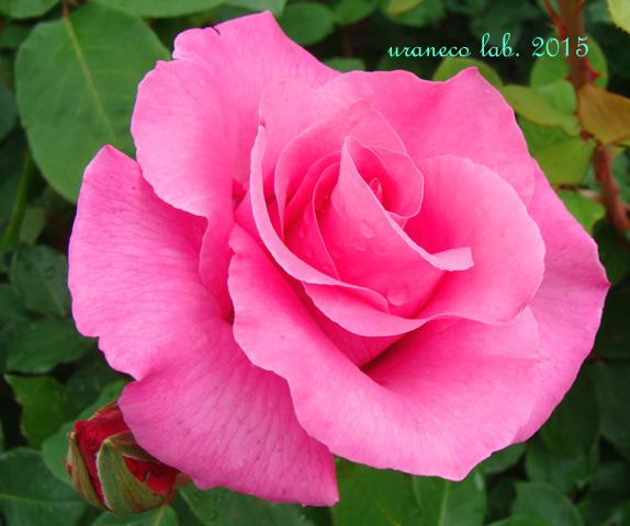 6月23日薔薇5