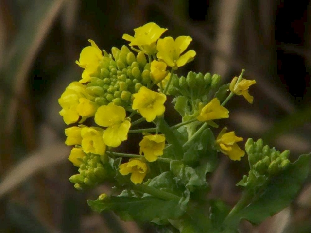 菜の花:クリックして大きな画像でご覧ください