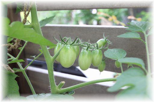 20150613ミニトマト