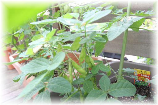 20150613枝豆